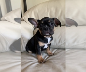 French Bulldog Dog for Adoption in PRESCOTT, Arizona USA