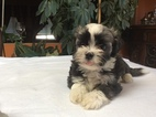 Havashu puppies   CUTE