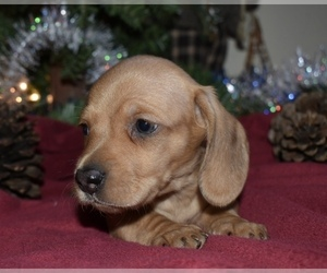 Dachshund Puppy for sale in EATONVILLE, WA, USA