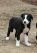 Border Collie Puppy For Sale in MANSFIELD, MO