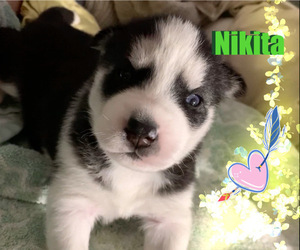 Siberian Husky Puppy for Sale in ASBURY PARK, New Jersey USA