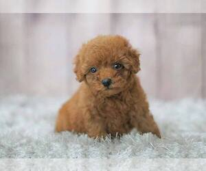 Poodle (Miniature) Puppy for sale in FULLERTON, CA, USA