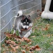Pomsky Puppy For Sale in TAMPA, FL, USA