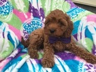 Cavapoo Puppy For Sale in PEACH BOTTOM, PA, USA