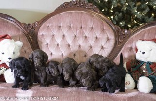 Labradoodle Puppy For Sale in MERIDIAN, TX