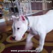 Small Photo #174 Dogo Argentino Puppy For Sale in PINEVILLE, MO, USA