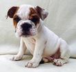 Bulldog Puppy For Sale in CHARLESTON, SC