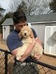 Poodle (Standard) Puppy For Sale in CLEMMONS, NC, USA