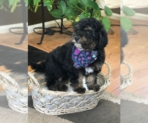 Poodle (Toy) Puppy for sale in DENVER, CO, USA