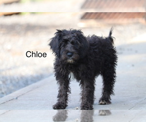 Miniature Labradoodle Puppy for sale in MANHEIM, PA, USA