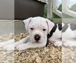 Small #28 American Bulldog