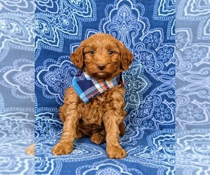 Goldendoodle Puppy for sale in NOTTINGHAM, PA, USA