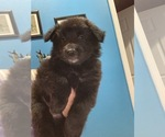 Puppy 3 Belgian Sheepdog