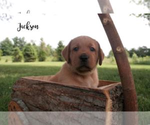Labrador Retriever Puppy for sale in GREENVILLE, IN, USA