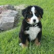 Bernese Mountain Dog Puppy For Sale in FRESNO, OH, USA