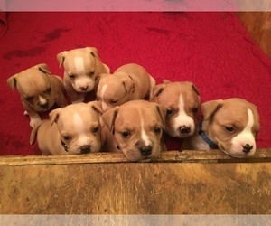 American Bully Puppy for Sale in ABERDEEN, North Carolina USA