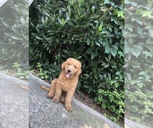 Goldendoodle Puppy for Sale in CHATTANOOGA, Tennessee USA