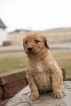 Goldendoodle Puppy For Sale in FORT WAYNE, Indiana,