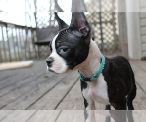 Boston Terrier Puppy for sale in BATTLEFIELD, MO, USA