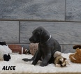 Weimaraner AKC puppies champion pedigree