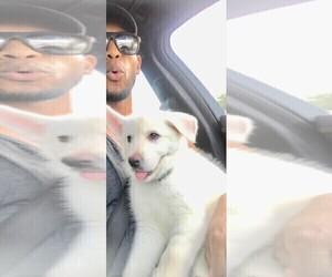 German Shepherd Dog-Huskimo Mix Puppy for Sale in FORT LAUDERDALE, Florida USA