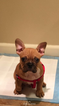 Faux Frenchbo Bulldog Puppy For Sale in RENTON, WA