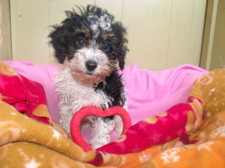 Poodle (Toy) Dog for Adoption in PATERSON, New Jersey USA