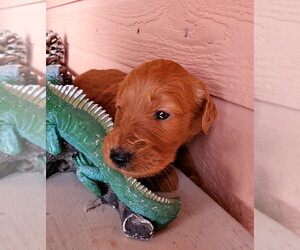 Goldendoodle Puppy for Sale in LAS VEGAS, Nevada USA
