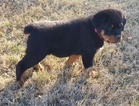 Adorable MF Rottweiler Pups Available