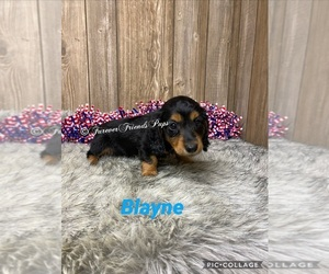 Dachshund Puppy for Sale in MYRTLE, Missouri USA