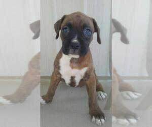 Boxer Puppy for sale in BATTLE CREEK, MI, USA