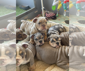 Bulldog Puppy for sale in LEXINGTON, NC, USA