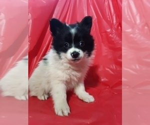 Pomeranian Puppy for Sale in SCOTTVILLE, Michigan USA