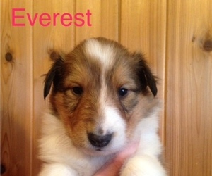 Collie Dog for Adoption in MENOMONIE, Wisconsin USA