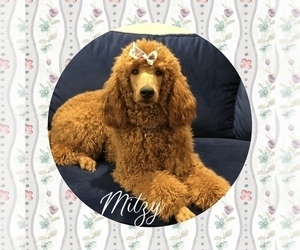 Mother of the Australian Labradoodle puppies born on 03/16/2021