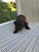 Chesapeake Bay Retriever Puppy For Sale in TUSCALOOSA, AL, USA