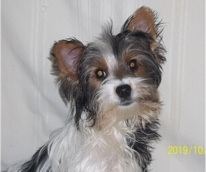 Biewer Terrier Dog for Adoption in HILLSBORO, Oregon USA