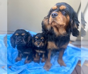 Cavalier King Charles Spaniel-Cockalier Mix Puppy for Sale in N HIGHLANDS, California USA
