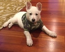 German Shepherd Dog Puppy For Sale in KENT, WA,