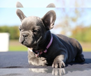 French Bulldog Puppy for sale in METUCHEN, NJ, USA