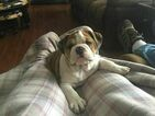 Bulldog Puppy For Sale in CATHEDRAL CITY, California,