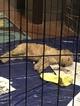 Poodle (Standard) Puppy For Sale in BARR, Mississippi,