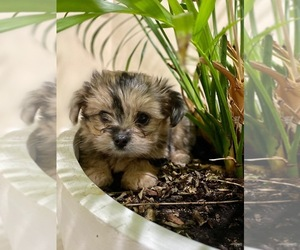 Yorkshire Terrier Puppy for sale in NEW ALBANY, IN, USA