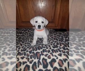 Labrador Retriever Puppy for Sale in PRINCETON, Minnesota USA