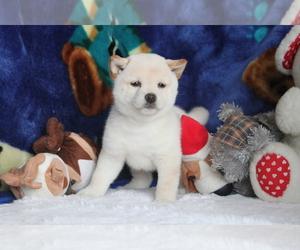 Shiba Inu Puppy for sale in ASTORIA, NY, USA