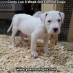 Small Photo #26 Dogo Argentino Puppy For Sale in PINEVILLE, MO, USA
