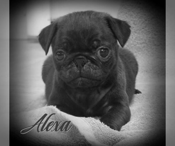 Medium Photo #1 Pug Puppy For Sale in ELVERSON, PA, USA