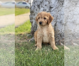 Goldendoodle Puppy for sale in SAN DIEGO, CA, USA