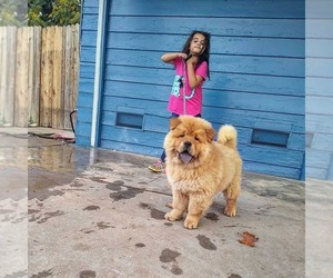 Chow Chow Puppy for sale in SACRAMENTO, CA, USA