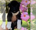 Puppy 8 Akita